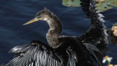 Anhinga - Water  Turkey at Alligator Alley, Florida 2 Stock Footage