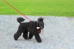 Ugly black dog Stock Photos