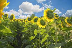 Stock Photo of sunflowers field