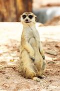 Portrait of meercat Stock Photos
