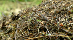Anthill and ants (Formica rufa) 4 Stock Footage