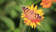 Stock Video Footage of Butterfly sit on a flower.Close up