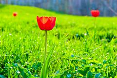 Red tulip on the background of lush green grass Stock Photos