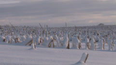 Rolling by old corn stalks stumps underneath heavy snow Stock Footage