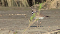 Ringed Plover Stock Footage