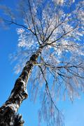 Bare birch tree with rime frost Stock Photos