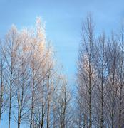 birch trees with rime frost - stock photo