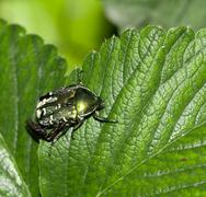 Chafer in nature. macro Stock Photos
