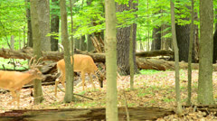 Stock Video Footage of Whitetail Deer Bucks
