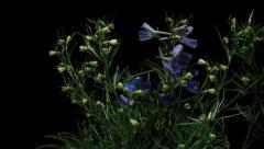 Delphinium Flower Time-lapse Stock Footage