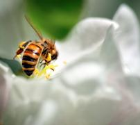 bee collecing nectar - stock photo