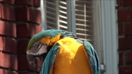 Stock Video Footage of Blue-and-yellow Macaw by Window