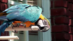 Blue-and-yellow Macaw Bird Perched in Front of Window Stock Footage