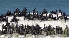 Large Flock of Black Cormorant Seabirds Stock Footage
