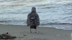 Juvenile Western Gull Seabird Stock Footage