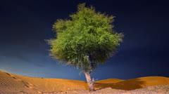 Ghaf tree in Dubai Abu Dhabi Sharjah Ras Al Khaimah Fujeirah Ajman Umm Al Quwain Stock Footage