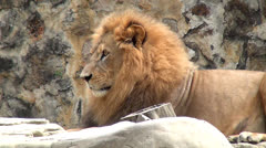 Lions, Lionesses, Zoo Animals, Wildlife Stock Footage
