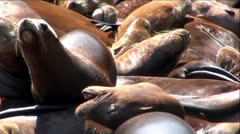 Gathering of Sea Lions Stock Footage