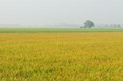 Yellow rice field Stock Photos