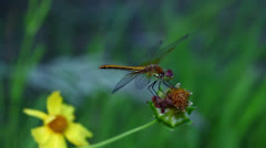 Common Darter Dragonfly close-up Stock Footage
