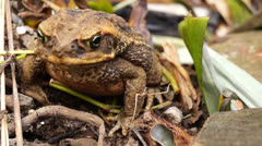 Toad Stock Footage