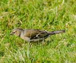 Stock Photo of female chaffinch hunts for food