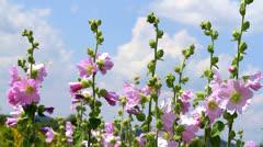 Lonely Malva flowers Stock Footage
