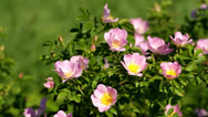 Stock Video Footage of Dog rose bush in the wind