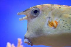 Boxfish closeup Stock Photos