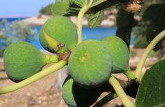 Fig fruits on a branch, Dalmatia - stock photo