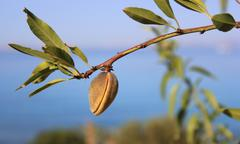 Fruit on an almond tree branch Stock Photos