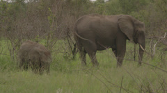 An elephant family grazing while on safari in sabi sabi, South Africa Stock Footage