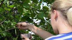 Female woman pick gather ripe hazel nutwood nuts nut-tree branch Stock Footage