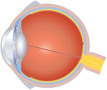 Structures Of The Human Eye - stock illustration