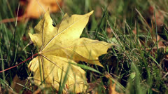 wind blowing on the fallen maple leaves - stock footage