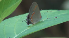 Red Banded Hairstreak Butterfly Stock Footage