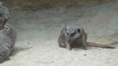 Meerkats, Mongooses, Zoo Animals, Wildlife, 2D, 3D Stock Footage