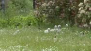 Stock Video Footage of Cygnets Eating Grass and Disappearing into Shrubbery