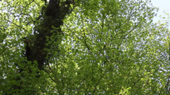 Deciduous forest - Dolly shot Stock Footage