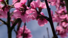 Peach tree in blossom time Stock Footage