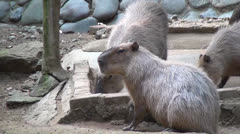 Stock Video Footage of Rodents, Capybara, Zoo Animals, Mammals, Wildlife, 2D, 3D