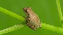 Spring Peeper (Pseudacris crucifer) 1 Stock Footage
