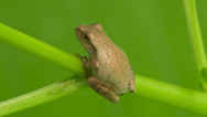 Stock Video Footage of Spring Peeper (Pseudacris crucifer) 1
