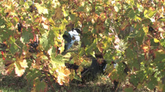 Bordeaux Wine Harvest Stock Footage