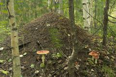 Anthill in forest Stock Photos