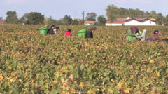 Bordeaux Wine Harvest - stock footage