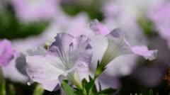 Stock Video Footage of petunia
