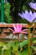 lotus in pond - stock photo