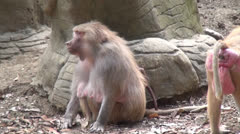 Baboons, Monkeys, Primates, Zoo Animals, 2D, 3D Stock Footage