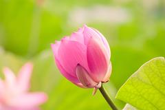 Stock Photo of blooming lotus